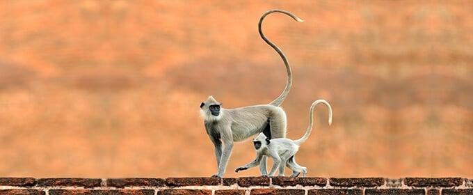scimmie con coda lunga